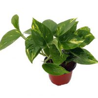 "upvoted.top:Golden Devil's Ivy - Pothos - Epipremnum - 4"" Pot - Very Easy to Grow"