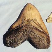 upvoted.top:Megalodon Shark Tooth Replica